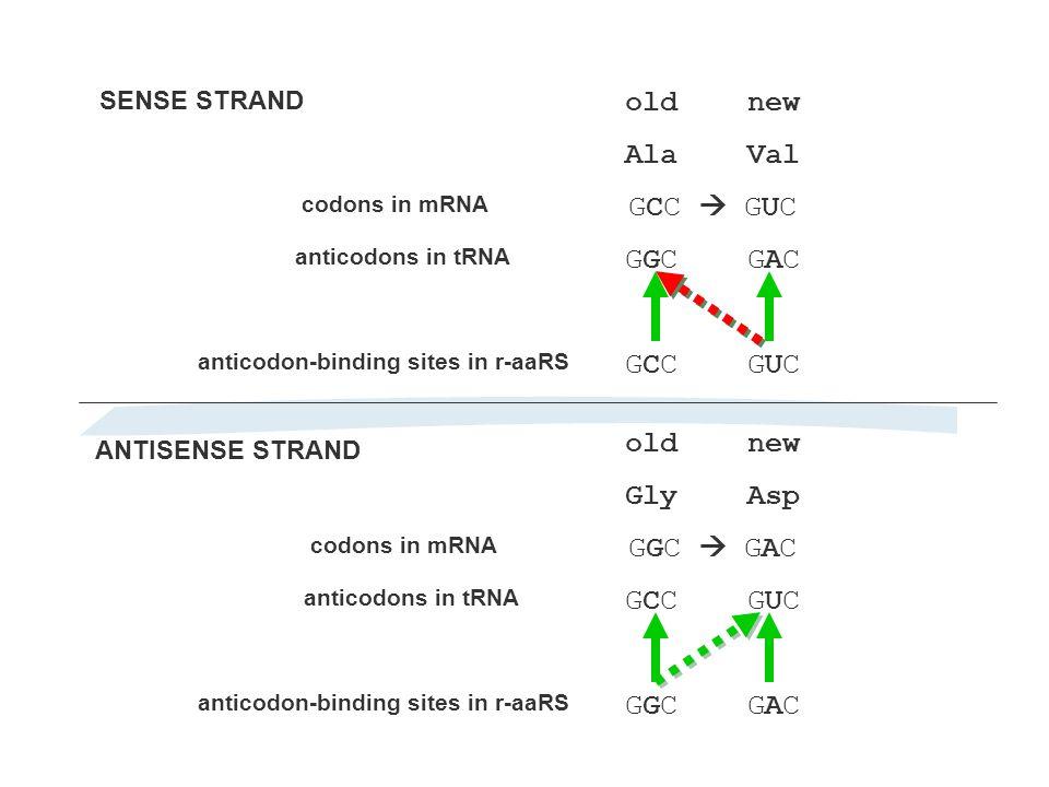 anticodon-binding sites in r-aaRS old new Ala Val GCC  GUC GGC GAC GCC GUC codons in mRNA anticodons in tRNA old new Gly Asp GGC  GAC GCC GUC GGC GAC codons in mRNA anticodons in tRNA anticodon-binding sites in r-aaRS SENSE STRAND ANTISENSE STRAND