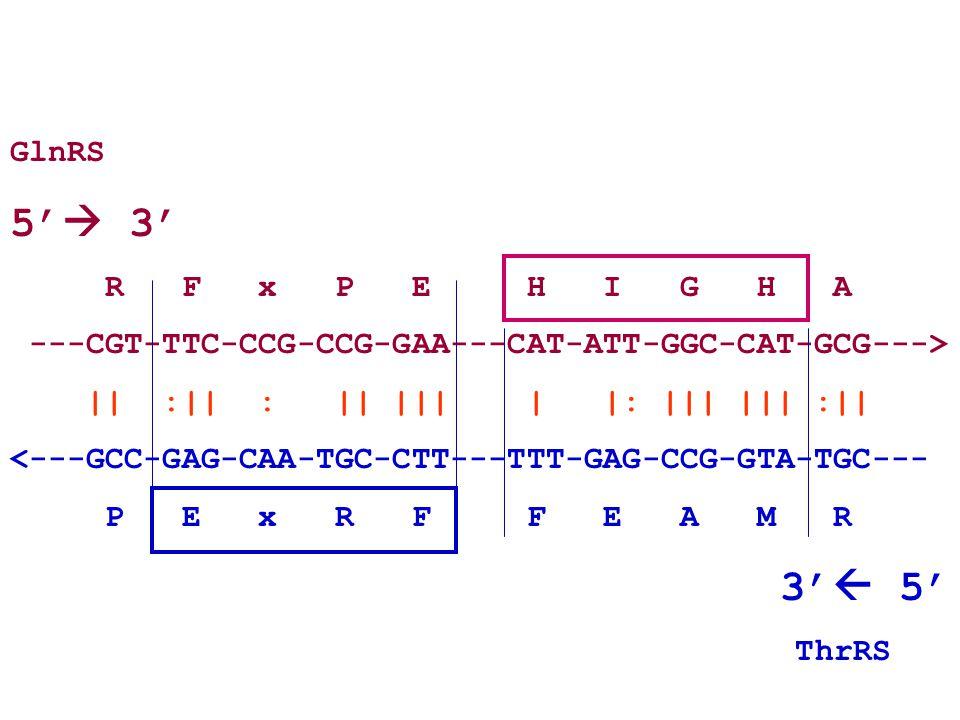 GlnRS 5'  3' R F x P E H I G H A ---CGT-TTC-CCG-CCG-GAA---CAT-ATT-GGC-CAT-GCG---> || :|| : || ||| | |: ||| ||| :|| <---GCC-GAG-CAA-TGC-CTT---TTT-GAG-CCG-GTA-TGC--- P E x R F F E A M R 3'  5' ThrRS