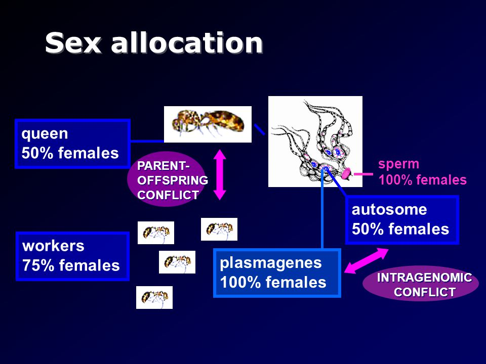 Sex allocation queen 50% females workers 75% females INTRAGENOMIC CONFLICT autosome 50% females plasmagenes 100% females sperm 100% females PARENT- OF