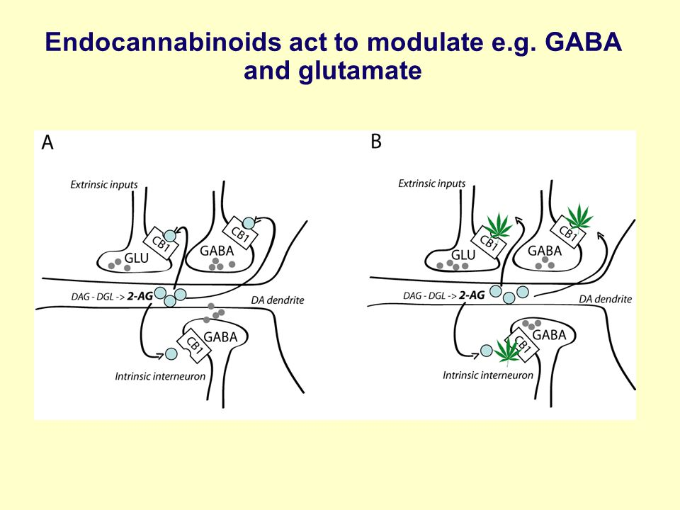 Endocannabinoids act to modulate e.g. GABA and glutamate