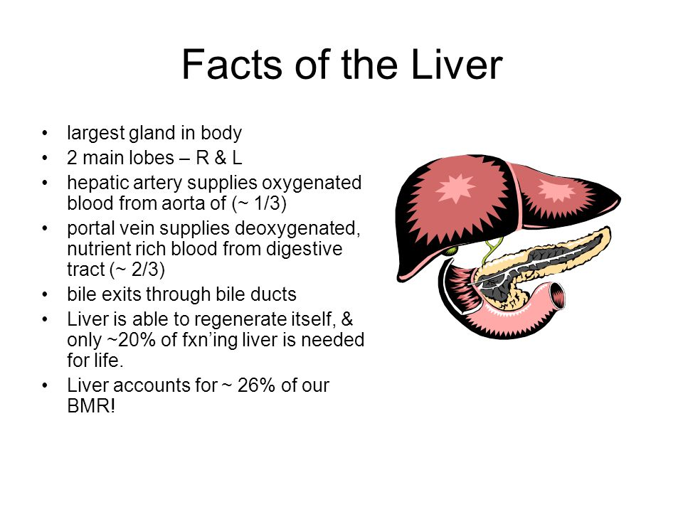 Facts of the Liver largest gland in body 2 main lobes – R & L hepatic artery supplies oxygenated blood from aorta of (~ 1/3) portal vein supplies deoxygenated, nutrient rich blood from digestive tract (~ 2/3) bile exits through bile ducts Liver is able to regenerate itself, & only ~20% of fxn'ing liver is needed for life.