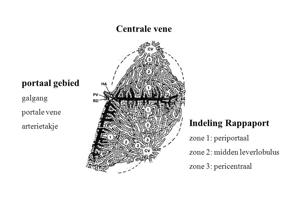 portaal gebied galgang portale vene arterietakje Centrale vene Indeling Rappaport zone 1: periportaal zone 2: midden leverlobulus zone 3: pericentraal