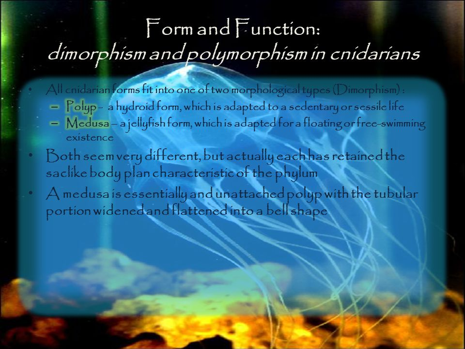 Form and Function: dimorphism and polymorphism in cnidarians