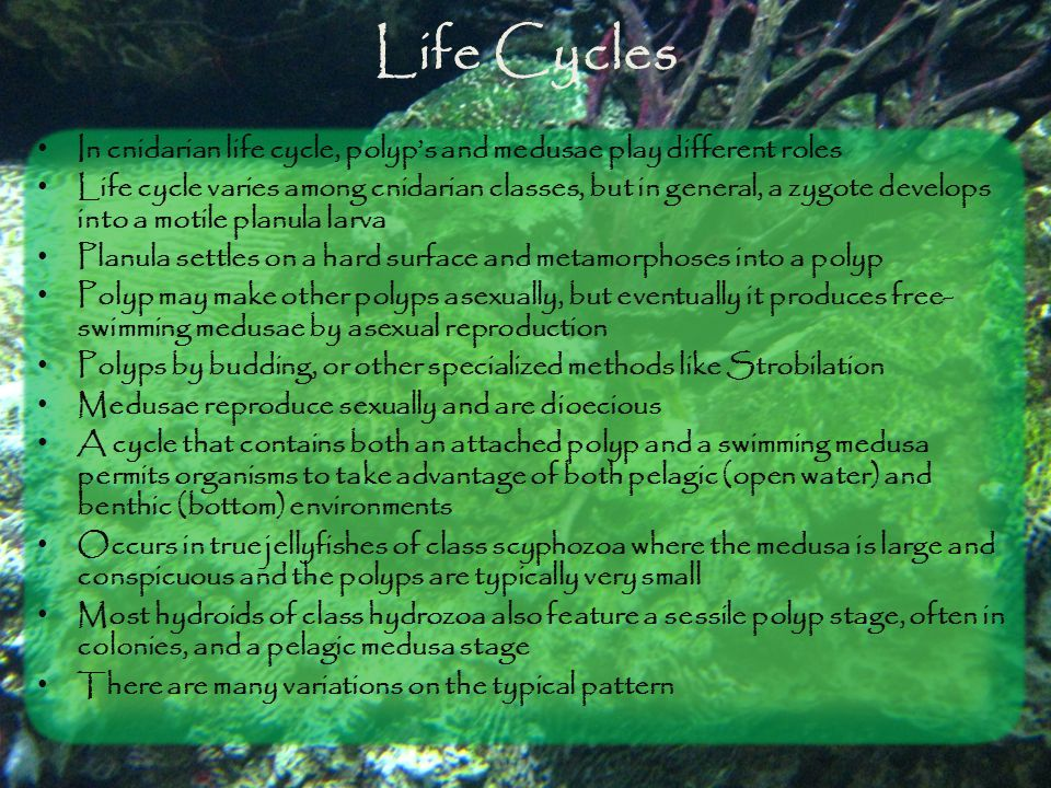 Life Cycles In cnidarian life cycle, polyp's and medusae play different roles Life cycle varies among cnidarian classes, but in general, a zygote deve