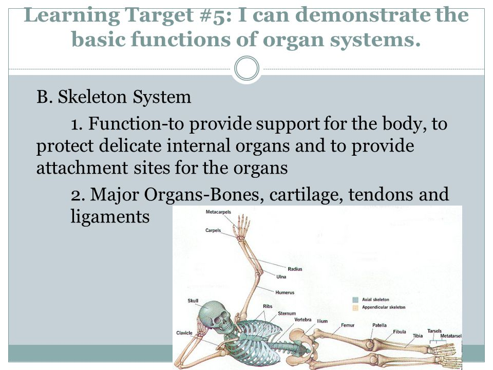 B. Skeleton System 1. Function-to provide support for the body, to protect delicate internal organs and to provide attachment sites for the organs 2.