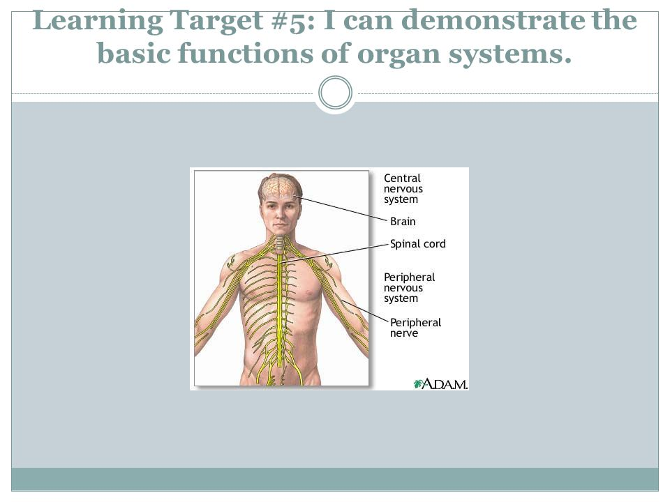 Learning Target #5: I can demonstrate the basic functions of organ systems.