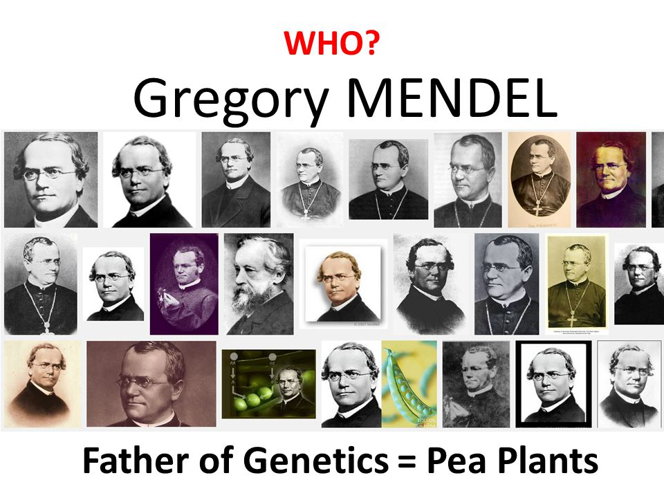 Gregory MENDEL WHO Father of Genetics = Pea Plants