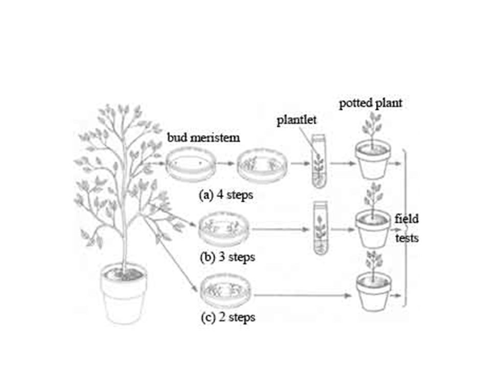 5.18 understand how micropropagation can be used to produce commercial quantities of identical plants (clones) with desirable characteristics