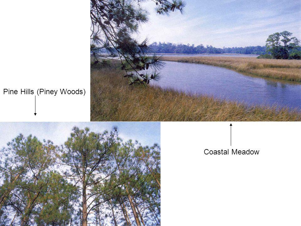 Coastal Meadow Pine Hills (Piney Woods)