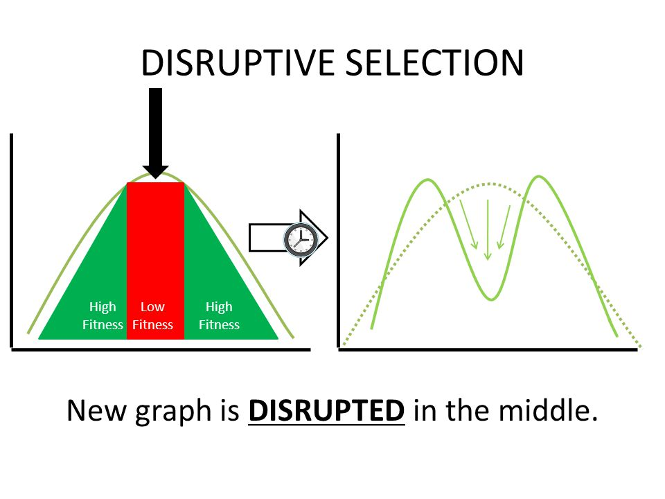 High Fitness DISRUPTIVE SELECTION New graph is DISRUPTED in the middle. Low Fitness Selection Pressure (Against Phenotype)