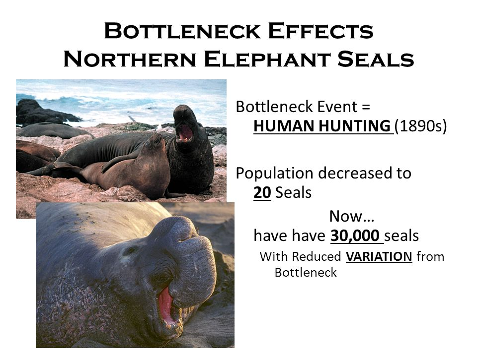 Bottleneck Effects Northern Elephant Seals Bottleneck Event = HUMAN HUNTING (1890s) Population decreased to 20 Seals Now… have have 30,000 seals With