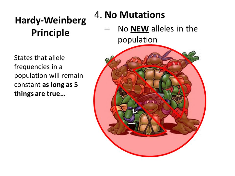 Hardy-Weinberg Principle 4. No Mutations – No NEW alleles in the population States that allele frequencies in a population will remain constant as lon