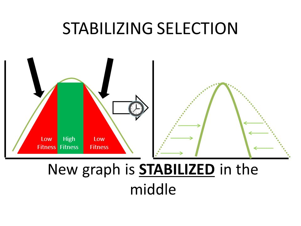Low Fitness STABILIZING SELECTION New graph is STABILIZED in the middle High Fitness Selection Pressure (Against Phenotype)