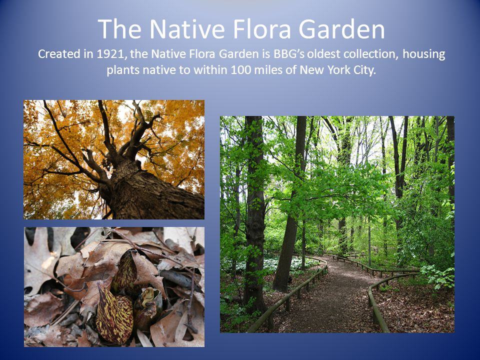 The Native Flora Garden Created in 1921, the Native Flora Garden is BBG's oldest collection, housing plants native to within 100 miles of New York Cit