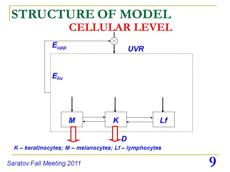 10 Saratov Fall Meeting 2011 UVR INTRA CELLULAR LEVEL STRUCTURE OF MODEL KM Mb Nc dendrite length Ms Mb – membrane; Nc – nuclei; Ms – melanosome