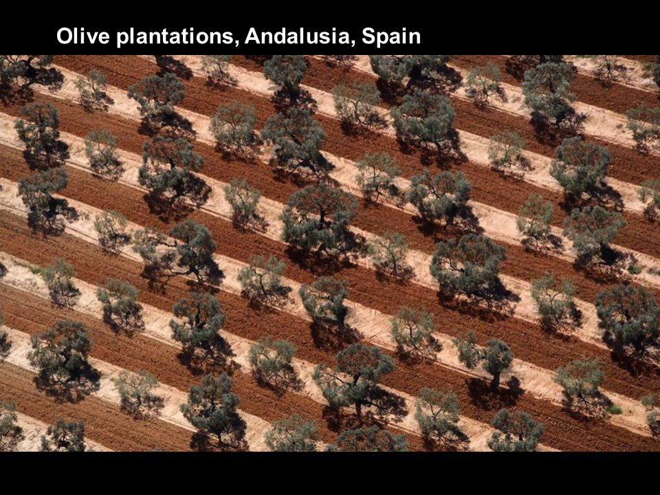 Olive plantations, Andalusia, Spain
