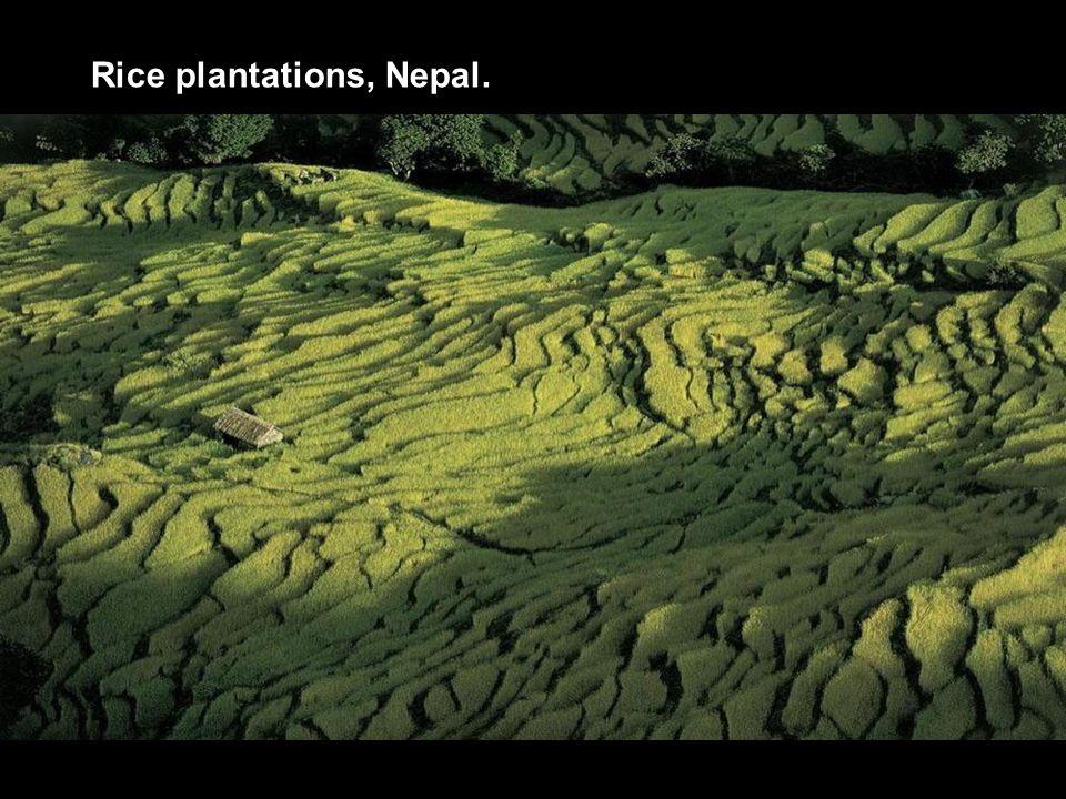 Rice plantations, Nepal.