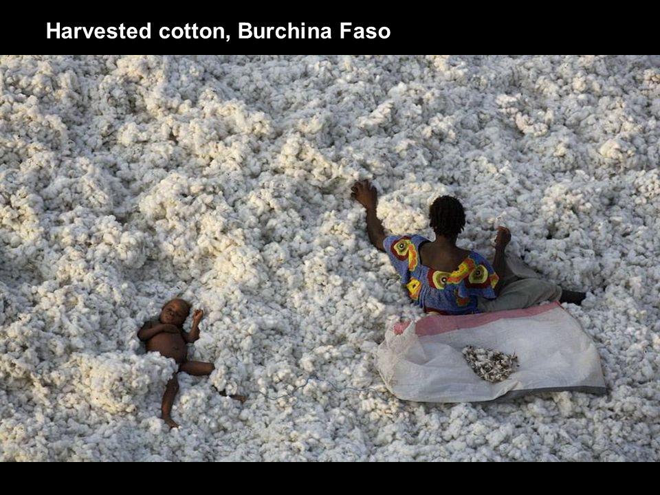 Harvested cotton, Burchina Faso