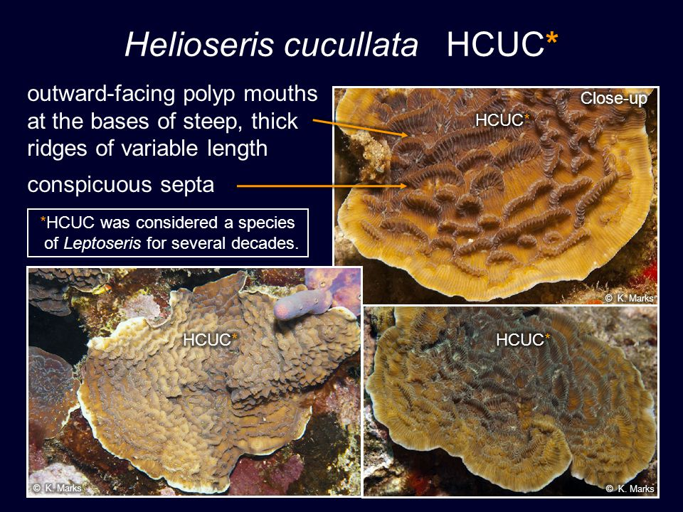 * Helioseris cucullata HCUC* *HCUC was considered a species of Leptoseris for several decades. outward-facing polyp mouths at the bases of steep, thic