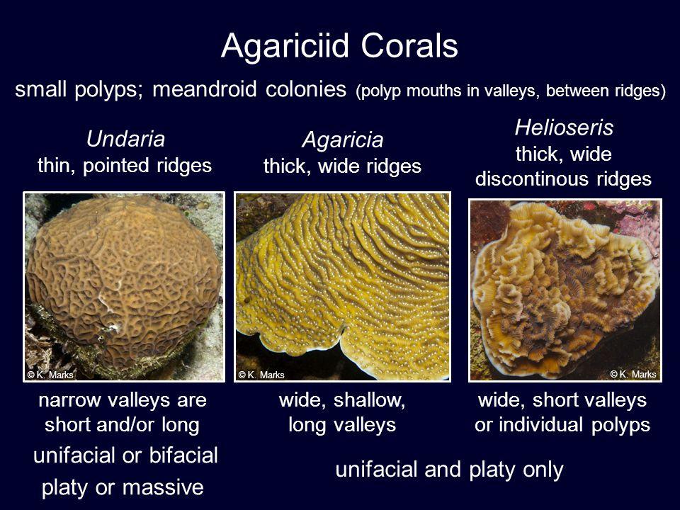 U. agaricites U. humilis UAGA UHUM Which is Which?