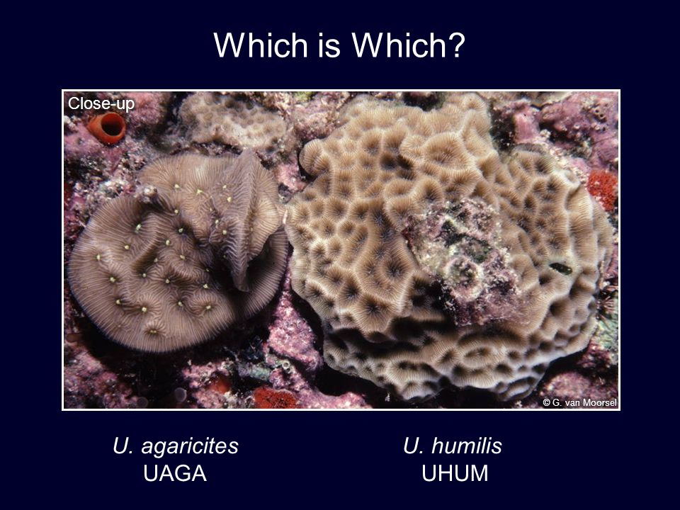 U. agaricites U. humilis UAGA UHUM Which is Which?