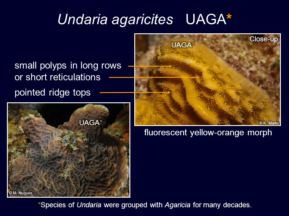 * Undaria agaricites UAGA* small polyps in long rows or short reticulations pointed ridge tops fluorescent yellow-orange morph *Species of Undaria were grouped with Agaricia for many decades.