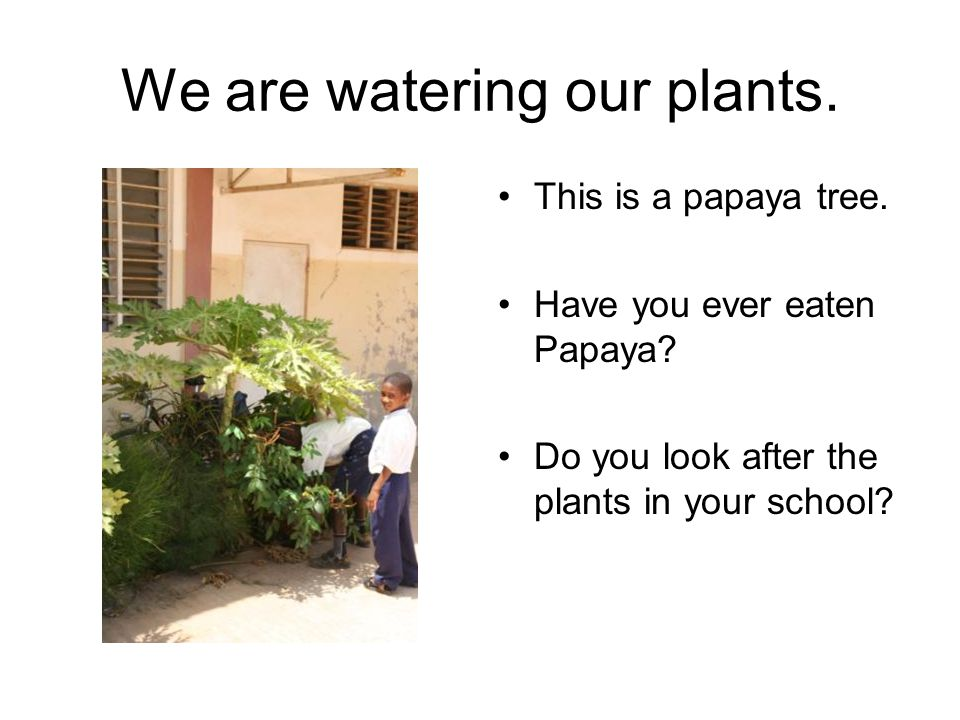We are watering our plants. This is a papaya tree. Have you ever eaten Papaya? Do you look after the plants in your school?