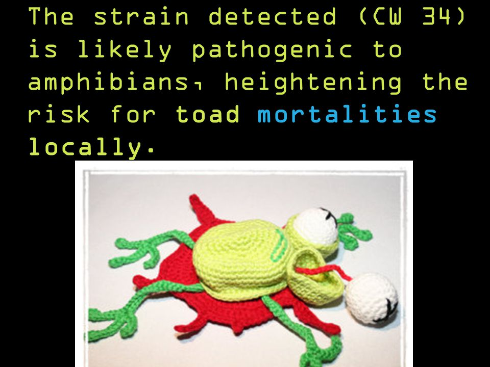 The strain detected (CW 34) is likely pathogenic to amphibians, heightening the risk for toad mortalities locally.