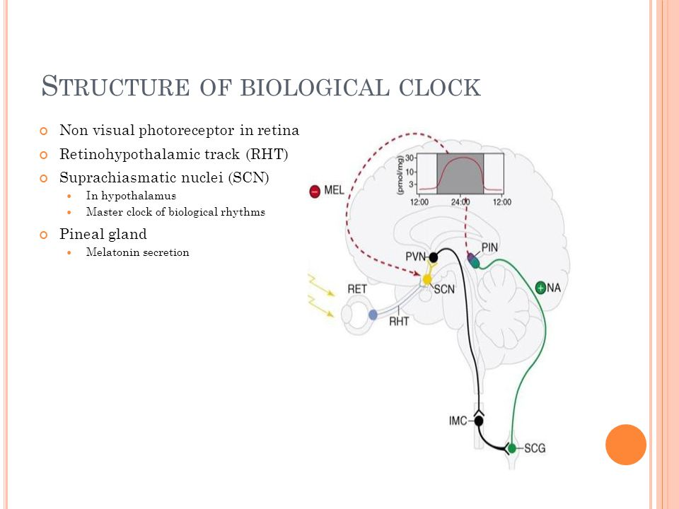 S TRUCTURE OF BIOLOGICAL CLOCK Non visual photoreceptor in retina Retinohypothalamic track (RHT) Suprachiasmatic nuclei (SCN) In hypothalamus Master clock of biological rhythms Pineal gland Melatonin secretion