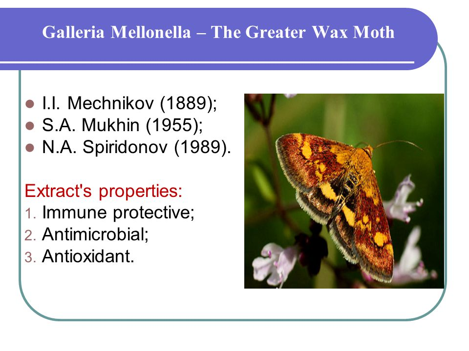 Galleria Mellonella – The Greater Wax Moth I.I. Mechnikov (1889); S.А.