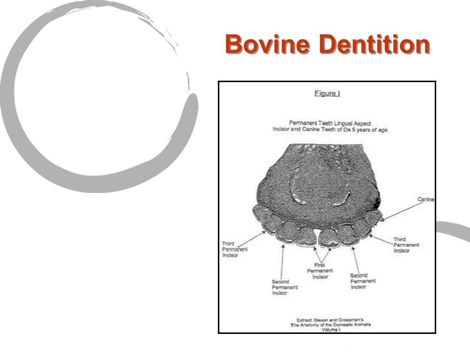 Bovine Dentition