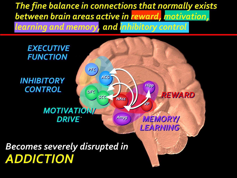 ACG OFC SCC Hipp NAcc VP Amyg REWARD INHIBITORY CONTROL INHIBITORY CONTROL MEMORY/ LEARNING MEMORY/ LEARNING EXECUTIVE FUNCTION EXECUTIVE FUNCTION PFC
