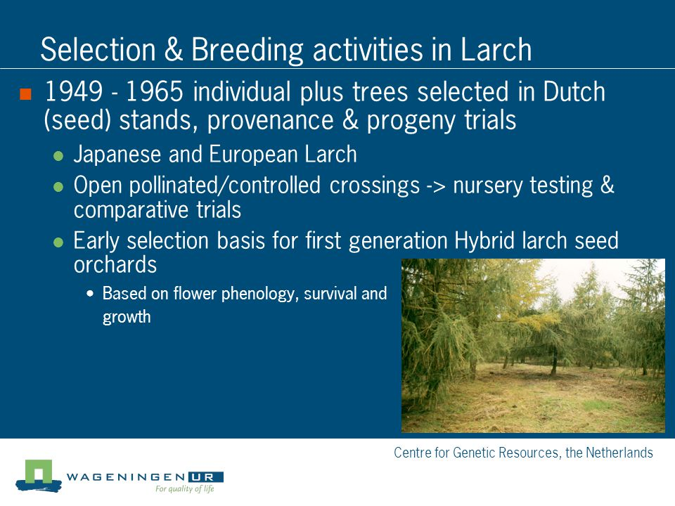 Centre for Genetic Resources, the Netherlands Selection & Breeding activities in Larch 1949 - 1965 individual plus trees selected in Dutch (seed) stan