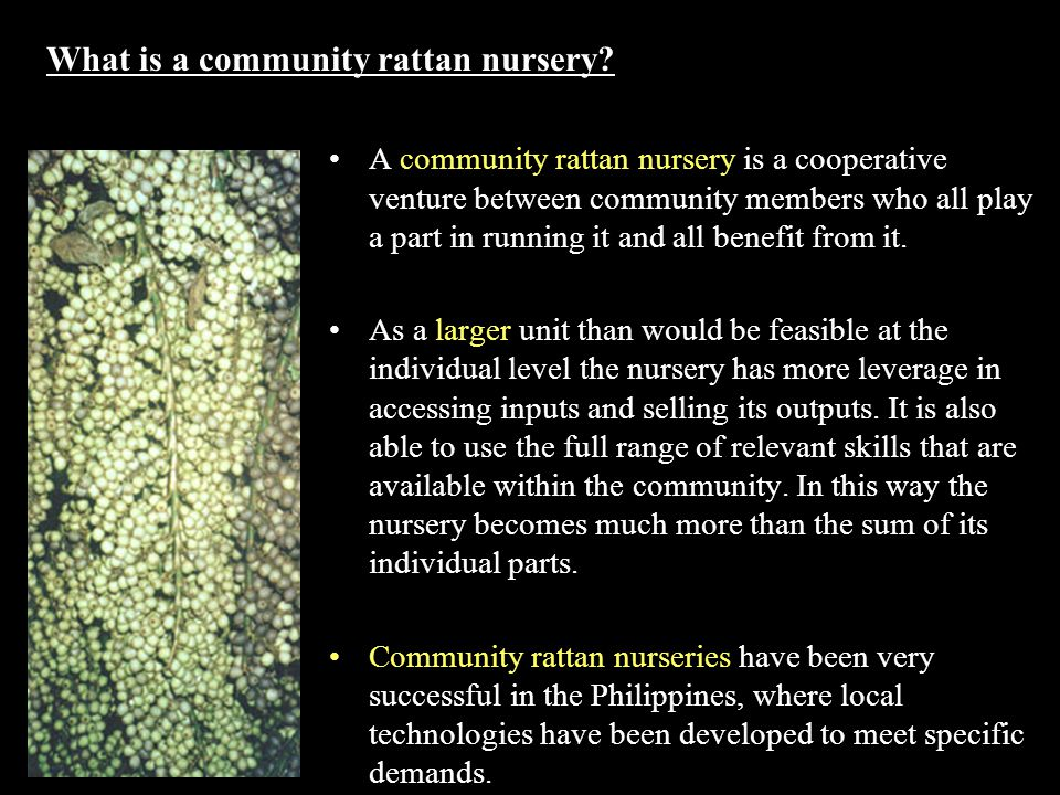 What is a community rattan nursery? A community rattan nursery is a cooperative venture between community members who all play a part in running it an