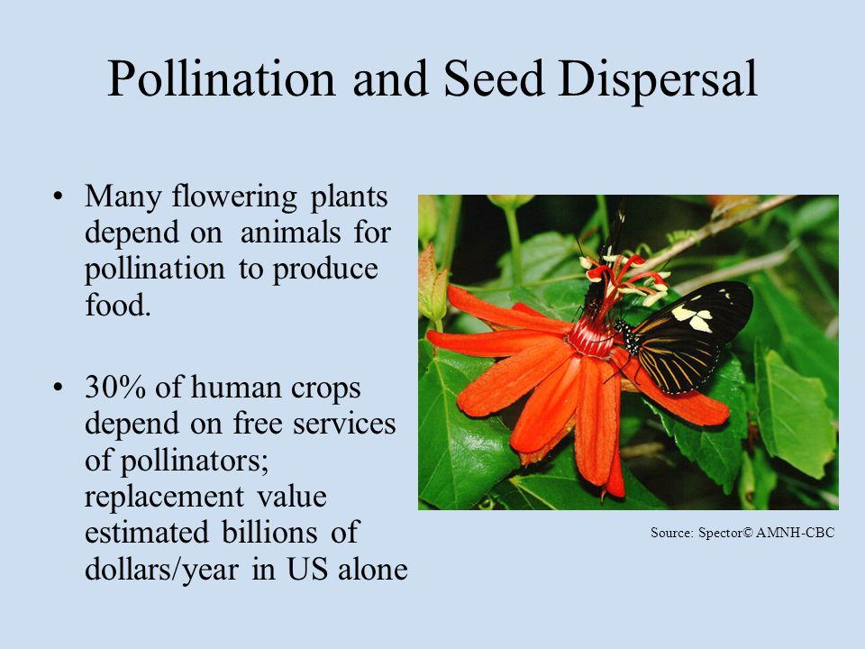 Pollination and Seed Dispersal Many flowering plants depend on animals for pollination to produce food. 30% of human crops depend on free services of