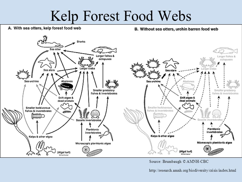 Source: Brumbaugh © AMNH-CBC http://research.amnh.org/biodiversity/crisis/index.html Kelp Forest Food Webs
