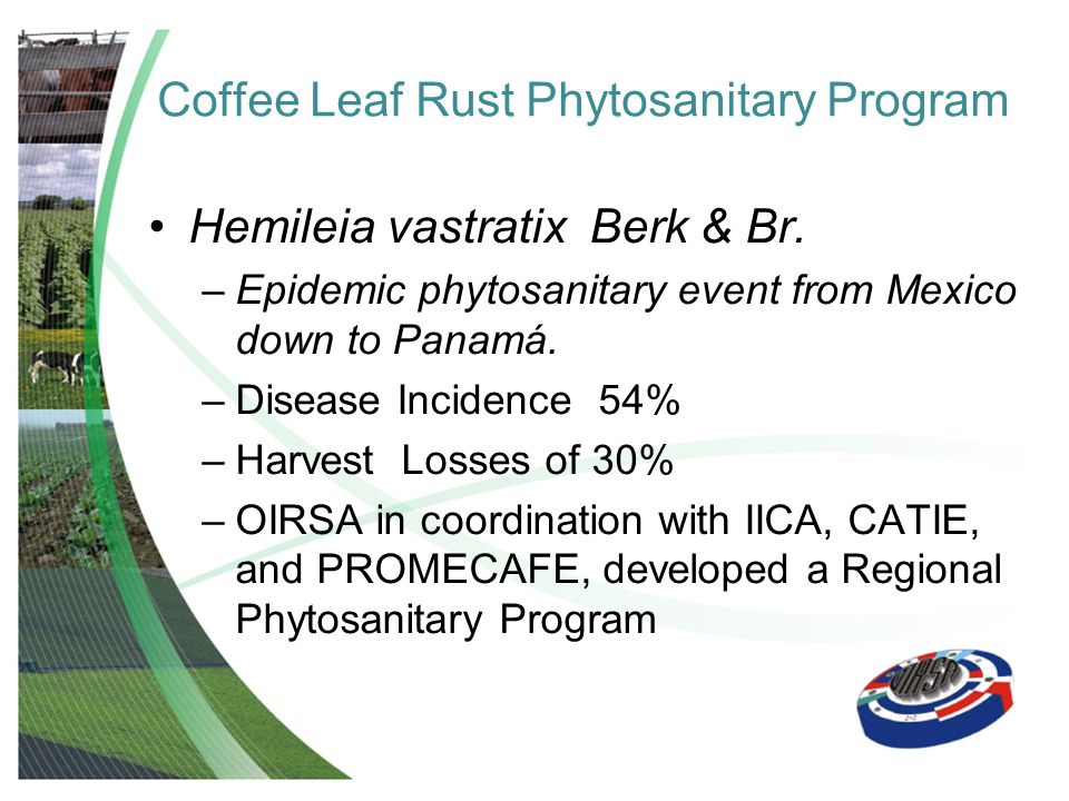 Coffee Leaf Rust Phytosanitary Program Hemileia vastratix Berk & Br. –Epidemic phytosanitary event from Mexico down to Panamá. –Disease Incidence 54%
