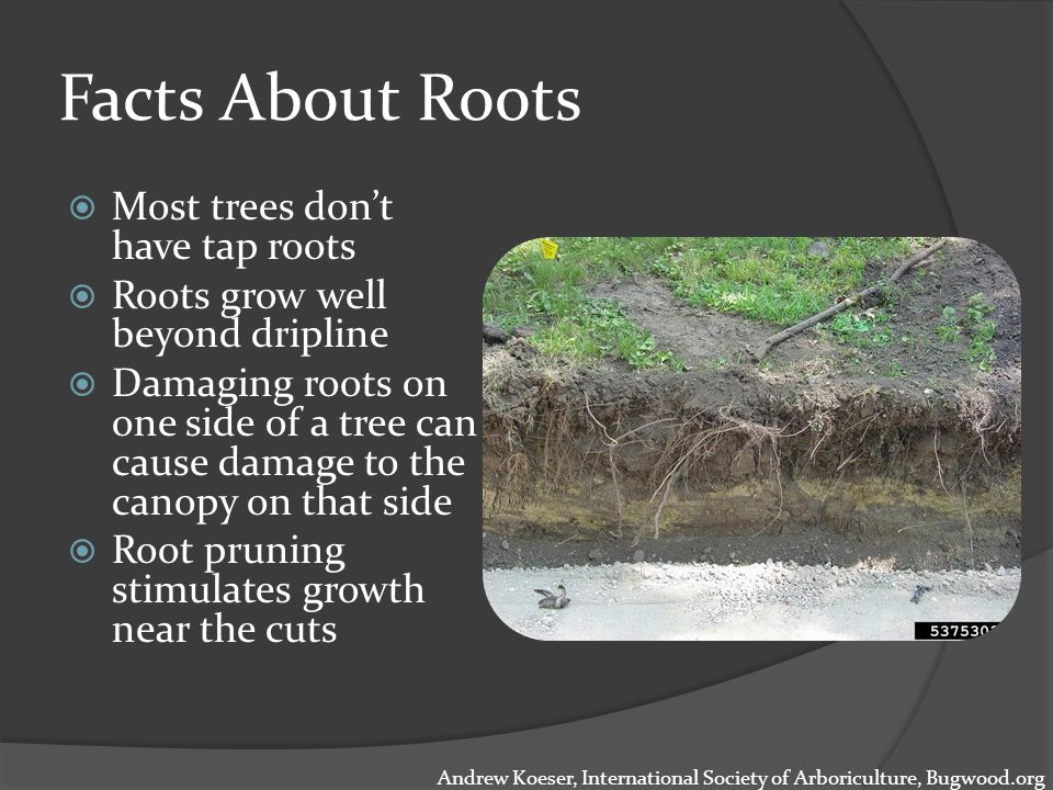 Facts About Roots  Most trees don't have tap roots  Roots grow well beyond dripline  Damaging roots on one side of a tree can cause damage to the canopy on that side  Root pruning stimulates growth near the cuts Andrew Koeser, International Society of Arboriculture, Bugwood.org