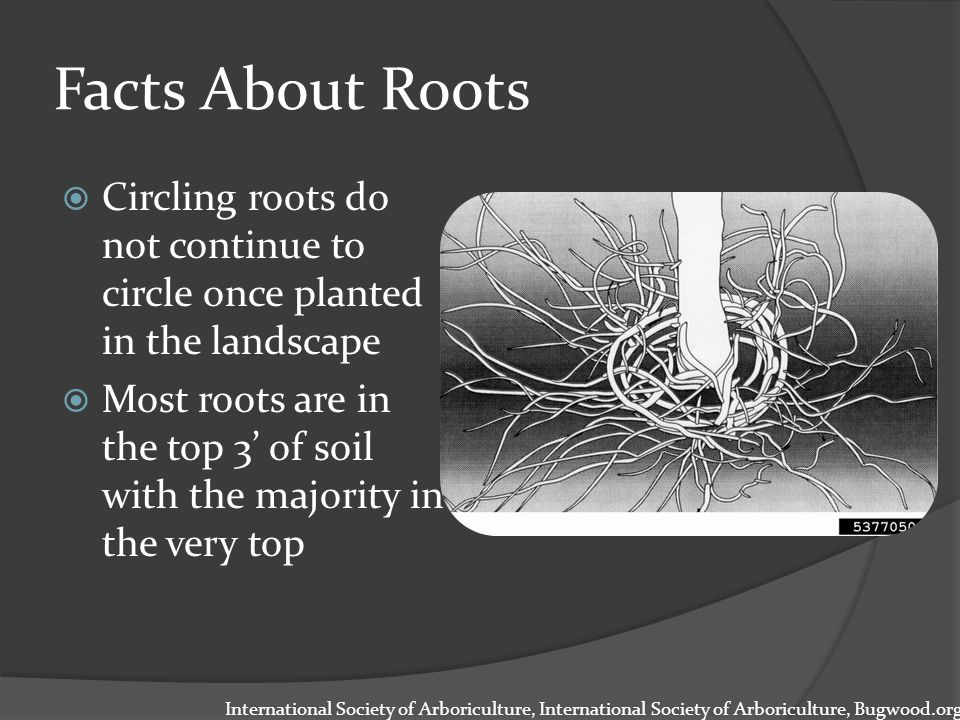 Facts About Roots  Circling roots do not continue to circle once planted in the landscape  Most roots are in the top 3' of soil with the majority in the very top International Society of Arboriculture, International Society of Arboriculture, Bugwood.org