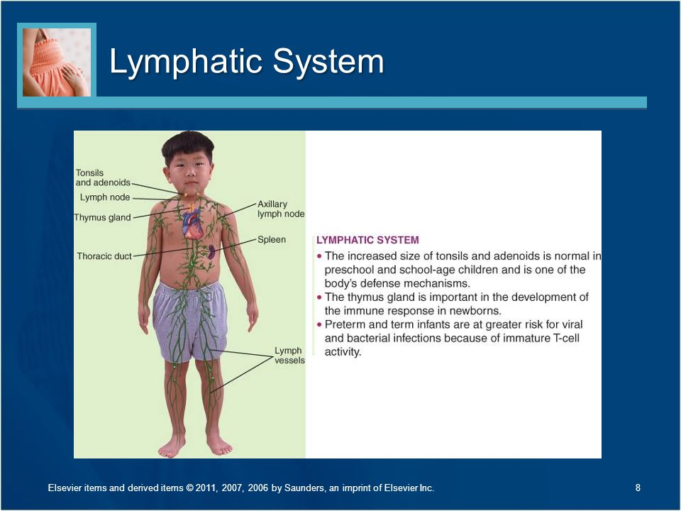 Lymphatic System 8Elsevier items and derived items © 2011, 2007, 2006 by Saunders, an imprint of Elsevier Inc.