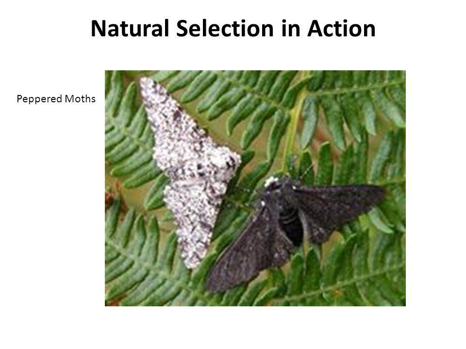 Natural Selection in Action Peppered Moths