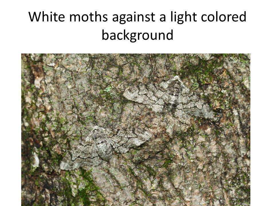 White moth against a dark backgroundWhite