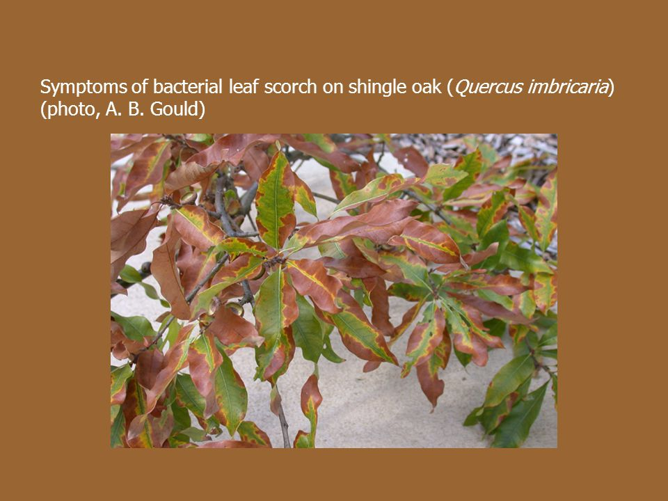Symptoms of bacterial leaf scorch on shingle oak (Quercus imbricaria) (photo, A. B. Gould)
