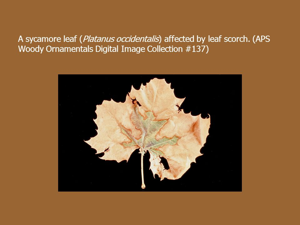 A sycamore leaf (Platanus occidentalis) affected by leaf scorch.