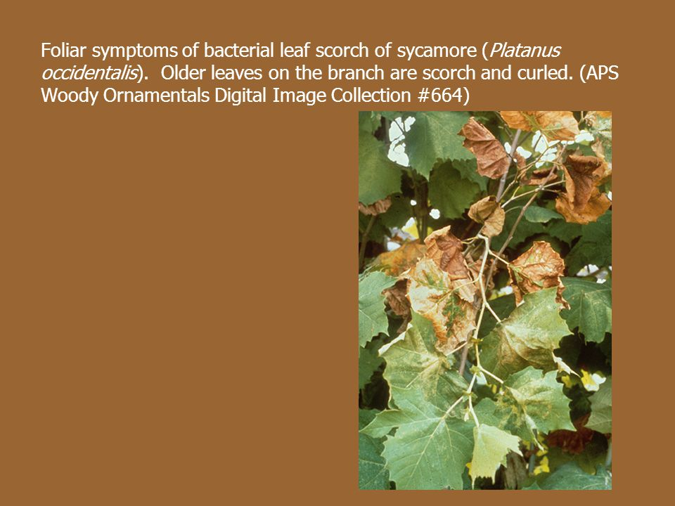 Foliar symptoms of bacterial leaf scorch of sycamore (Platanus occidentalis).