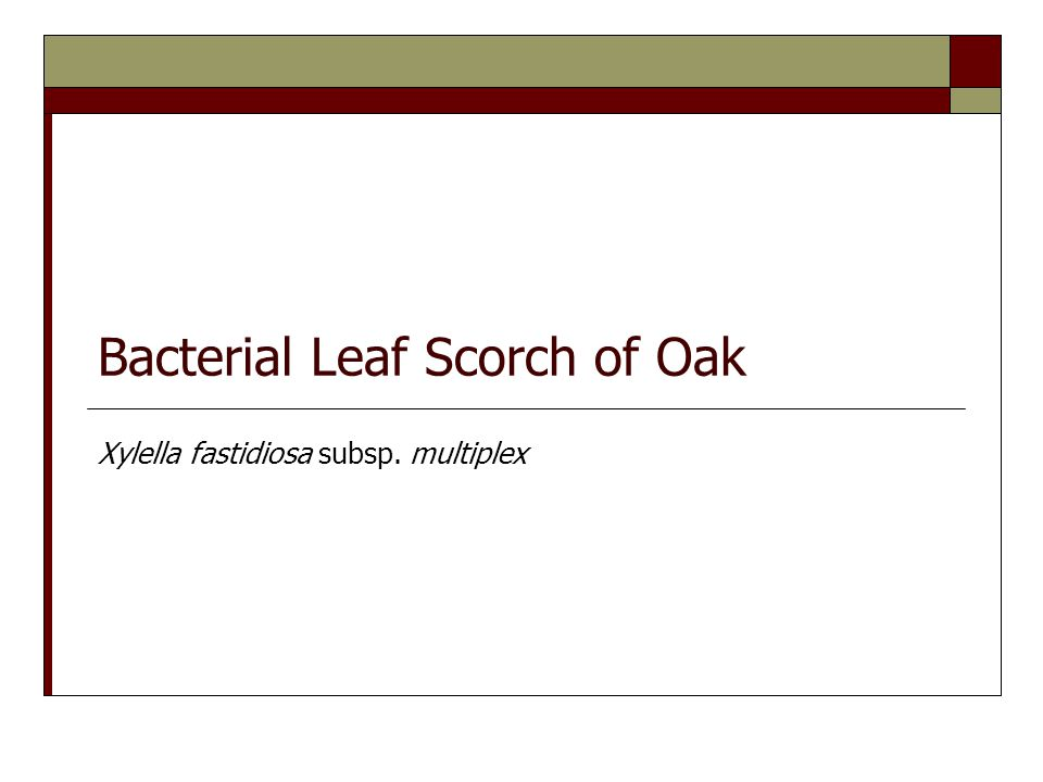 Bacterial Leaf Scorch of Oak Xylella fastidiosa subsp. multiplex