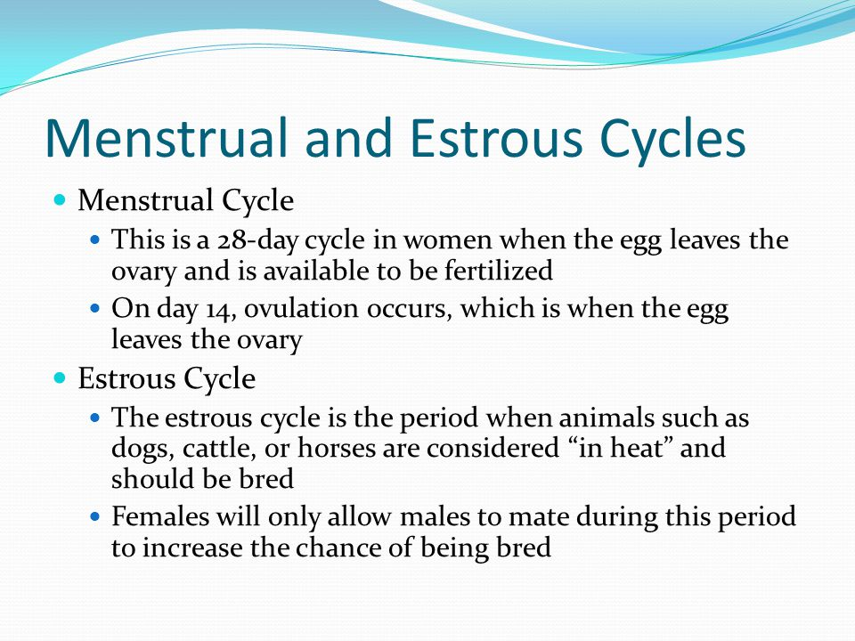 Menstrual and Estrous Cycles Menstrual Cycle This is a 28-day cycle in women when the egg leaves the ovary and is available to be fertilized On day 14, ovulation occurs, which is when the egg leaves the ovary Estrous Cycle The estrous cycle is the period when animals such as dogs, cattle, or horses are considered in heat and should be bred Females will only allow males to mate during this period to increase the chance of being bred
