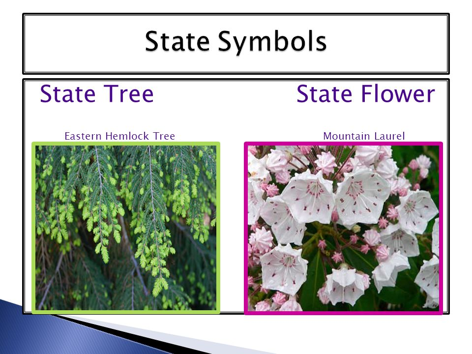 State Tree State Flower Eastern Hemlock Tree Mountain Laurel