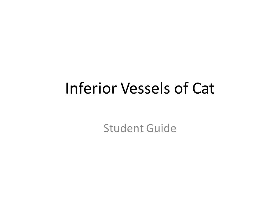 Inferior Vessels of Cat Student Guide