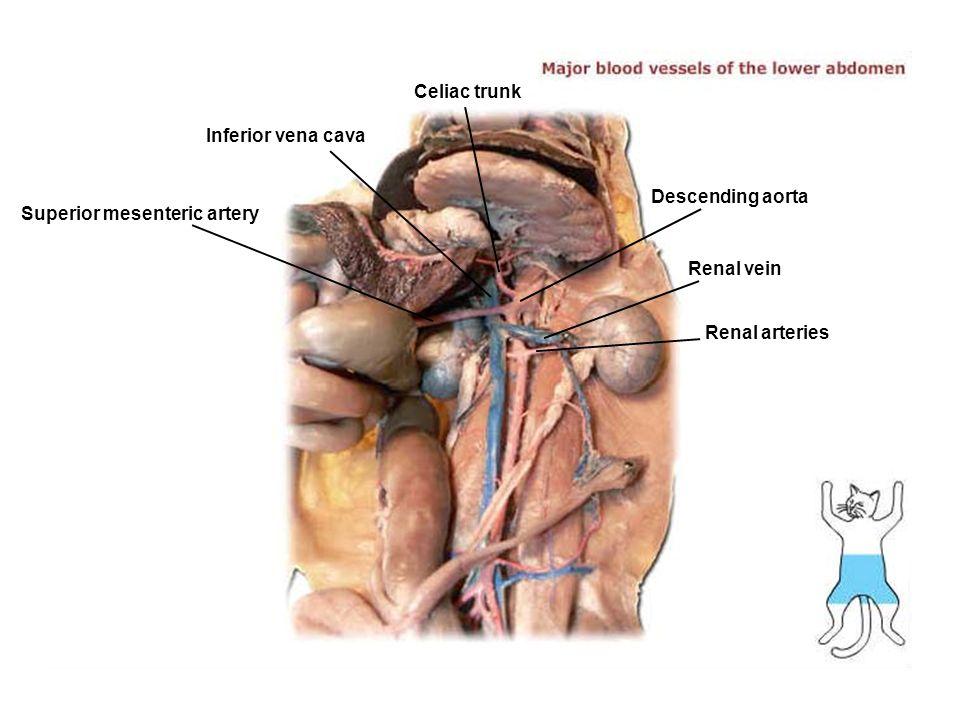Celiac trunk Inferior vena cava Superior mesenteric artery Renal vein Descending aorta Renal arteries